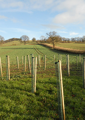 Trees for large scale planting in the Shropshire Hills