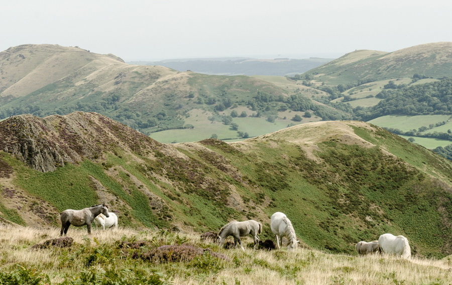 Wild ponies on the Long Mynd by Phil King