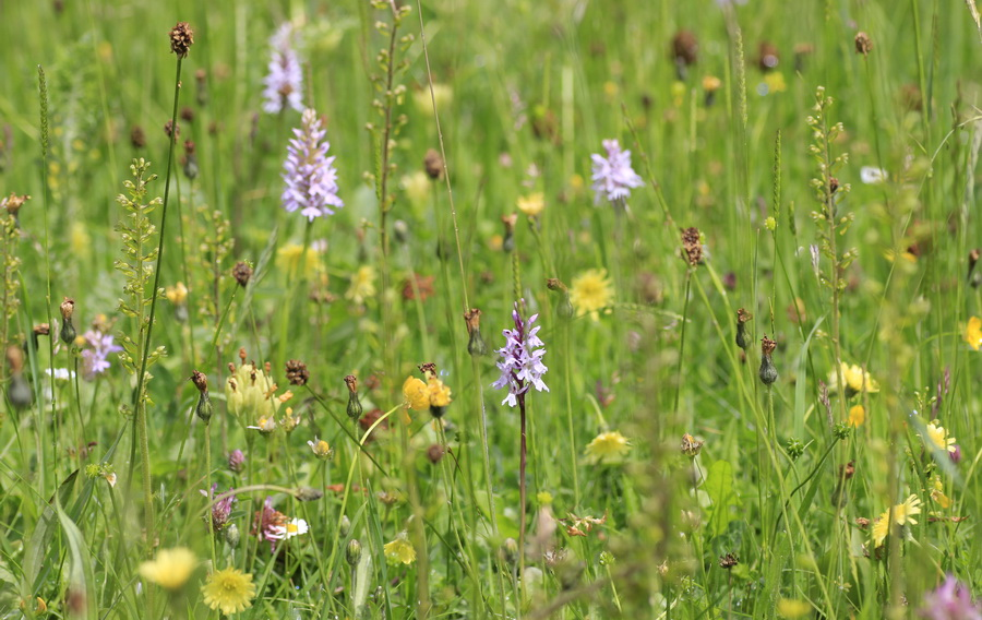 flower-rich hay meadow in the Shropshire Hills